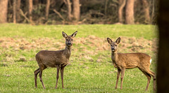 Roe and Fawn (Leen Goudappel) Tags: veluwe netherlands nederland gelderland photography wildlife nature natuur canon sigma 150600mm spirng lente spelderholt perfection beautiful roe deer fawn animals woods thisislife perfect love europe world earth beautifullworld