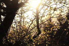 A wonderful feeling in the warm spring sun (shootingstarsnight) Tags: spring frühling afternoon nachmittag oberlausitz upperlausitz tree baum strauch shrub sun harmony leaves thenatureisawake grow goldenshimmer sunny sonnenschein warm sunshine germany deutschland saxony sachsen blätter