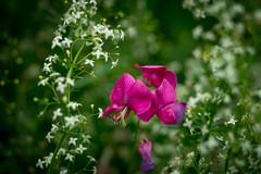 Wild meadow (mariokopatz) Tags: wildmeadow flower tessar50 tessar carlzeissjena czj 50mmf28 50 f28