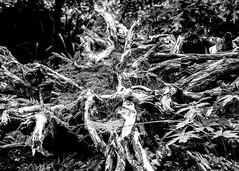 Root System (Hans van der Boom) Tags: rotterdam nederland netherlands arboretum trompenburg garden tree roots system bw zuidholland nl