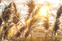 (C.dallaire Photography) Tags: sun sunporn sunflare flare wheat field canada quebec sky yellow hot cute beautiful photography canon cloud clouds