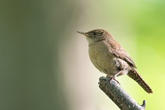 Troglodyte Familier / House Wren (ALLAN .JR) Tags: troglodyte wren house familier oiseau bird nature wildlife spring printemps ilestbernard nikon d7100 eye