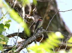 Rose-throated Becard, Pachyramphus aglaiae (bruce_aird) Tags: