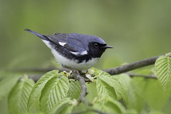 Black-throated Blue Warbler (www.studebakerstudio.com) Tags: blackthroated blue warbler blackthroatedbluewarbler bird songbird nature wildlife studebaker allegheny allegany stateforest statepark