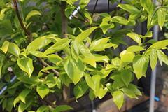 Diospyros kaki-04 (The Tree Library (TreeLib.ca)) Tags: diospyroskaki japanesepersimmon