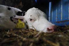 pawu024 (Otwarte Klatki) Tags: krowa krowy mleko zwierzęta cielak ferma andrzej skowron