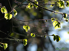 spiderweb among fresh green (Ola 竜) Tags: green leaves spring tree fresh foliage spiderweb web net spider animal insect backlight sunny sunlight bokeh dof focus fz200 closeup branches twigs light lensflare flare nature composition plant macro