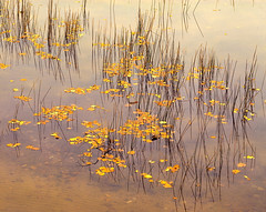 Reeds and Leaves on Water (klauslang99) Tags: klauslang nature naturalworld northamerica canada reeds leaves water fall landscapes lake