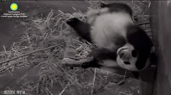 2017_05-25e (gkoo19681) Tags: beibei fuzzywuzzy chubbycubby feetsies sleepyhead adorable mirroredimage toocute bigbelly contentment comfy ccncby nationalzoo