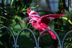 Pigeon rose_8699 (lucbarre) Tags: pigeon colombe rose pink spain espagne aguilas parc arbre ville couleur