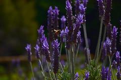 20170520_262_2 (まさちゃん) Tags: ラベンダー 蜂 lavender bee くりはま花の国