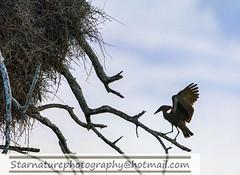 _DJA3609 copy (naturephotographywildlife) Tags: kruger wildlife scenery animals birdlife a99ii africa park hamerkop