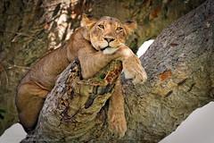 Tree-Climbing Lions (Sharon's Nature) Tags: africa wildlife treeclimbing uganda lion