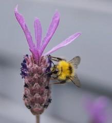 Busy bee/Bezige bij (Wildrie) Tags: pollen insect honey sonya580 sony zomer summer sun lente spring purple lavendel garden honing natuur nature macro flowers bij bee