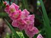 _MG_8501.jpg (Gregory P Clark) Tags: pretty leaves pink petals cluster leaf fullbloom flowers green buds clusters stalk stamen
