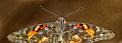 THE PAINTED LADY (gazza294) Tags: paintedlady butterfly butterflies flicker flckr flickr flkr gazza294 garymargetts