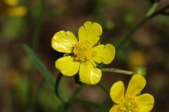 Ranunculus japonicus   ウマノアシガタ (ashitaka-f studio k2) Tags: flower yellow japan ranunculus japonicus ウマノアシガタ キンポウゲ科 ranunculaceae