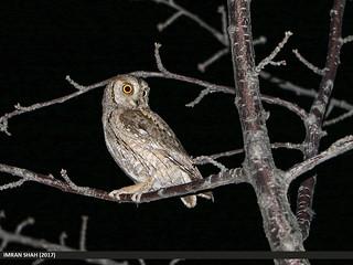 Eurasian Scops-owl (Otus scops)