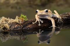 Borneo eared frog (hehaden) Tags: amphibian frog borneoearedfrog bonyheadedflyingfrog polypedatesotilophus water moss reflection captivelight bournemouth