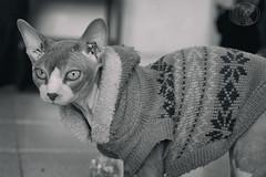 Con jersey en julio. (yuly9751) Tags: cats spynx shoot shooting serie summer spynxcat sephy blackandwithe beautiful babycat photograpy photo proyect portrait canon camara contraste cute gatocalvo