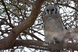 Verreaux's Eagle Owl - 0919b2