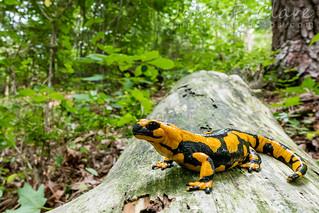 Italian Fire Salamander (Salamandra salamandra gigliolii)