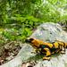 Italian+Fire+Salamander+%28Salamandra+salamandra+gigliolii%29