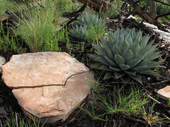 Cracking Up (zoniedude1) Tags: arizona morning mogollonrim rock therim cliffedge crackedrock forest rockgarden crackingup dewymorning abstractart agave centuryplant succulent parrysagave agaveparryi asparagaceae mescalagave native flora greenery vegetation 7800ftelevation sitgreavesnf asnf apachesitgreavesnationalforest outdoors adventure exploration discovery outinthewild beauty coloradoplateau highcountry rimexpedition2015 nature southwest canonpowershotg12 pspx9 zoniedude1 earthnaturelife