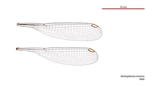 Miniargiolestes minimus male wings