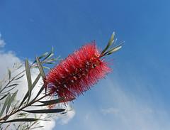 Perfect in pink (LeelooDallas) Tags: western australia bannister landscape tree bottle brush flower blossom bush sky cloud dana iwachow nikon s9200