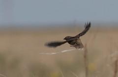 grsp-easterncimarronco-5-26-17-tl-01-cropscreen (pomarinejaeger) Tags: keyes oklahoma unitedstates bird grasshoppersparrow ammodramussavannarum