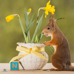 basket with Narcissus (Geert Weggen) Tags: red nature animal squirrel rodent mammal cute look closeup stand funny bright sun backlight staring watching hold glimpse peek up tail message communication letter woodenframe capitals numbers learning school child education learn baby word alphabet abcbook narcissus geert weggen sweden hardeko jämtland bispgården