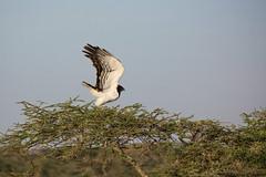 Black Chested Snake Eagle (Circaetus pectoralis) (Ring a Ding Ding) Tags: 2017 africa bird circaetuspectoralis nomad serengeti tanzania action birdofprey nature predator safari takeoff wildlife arusharegion