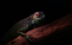dark eyes (cagdas topcu) Tags: animal wild wildlife nature iguana 90mm 28 fe90mm28 sonya7r cagdastopcu light freelight darkness dark black backgroud eyes macro makro doğa vahşi yaşam siyah sony