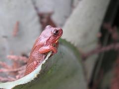 Ranita Platanera, Dendropsophus bogerti ?? (cirestrepo) Tags: ranitaplatanera dendropsophusbogerti rana anfibios ranasdecolombia ranascolombianas ranasendémicasdecolombia ranaendémica frog colombianfrogs hylidae ranasdesuramérica southamericanfrogs anura dendropsophus