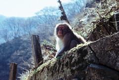 Jigokudani Monkey Park, Japan (Katie Tarpey) Tags: jigokudanimonkeypark japan monkey macaque japanesemacaque backlit film kodak kodakportra400 nikonfm10 nikkor50mm14 nature wildlife snowmonkey