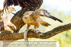 DSC01105 copy (naturephotographywildlife) Tags: kruger wildlife scenery animals birdlife a99ii africa park eagle