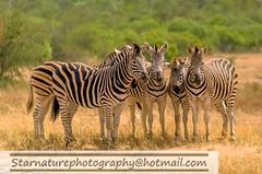 _DSC49061 copy (naturephotographywildlife) Tags: kruger wildlife scenery animals birdlife a99ii africa park zebra