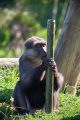 kiss training or just praying ? (rondoudou87) Tags: pentax k1 parc zoo reynou nature natur wildlife wild smcpda300mmf40edifsdm sauvage singe monkey funny fun