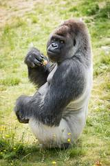 2017-06-05-10h48m54.BL7R7040 (A.J. Haverkamp) Tags: bokito canonef100400mmf4556lisiiusmlens rotterdam zuidholland netherlands zoo dierentuin blijdorp diergaardeblijdorp httpwwwdiergaardeblijdorpnl gorilla westelijkelaaglandgorilla dob14031996 pobberlingermany nl