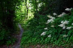 Spring trail (frank28883) Tags: trail sentiero underwood sottobosco path