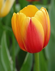 Tulip closeup (Through Serena's Lens) Tags: 7dwf macroor closeup tulip colorful bright yellow red outdoor