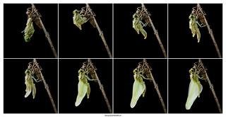 Émergence d'une libellule