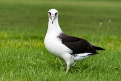 Laysan Albatross P306 (jonasflanken) Tags: procellarid seabird laysanalbatross equipment camera nikond500 bird princevillemakaigolfclub dslr animal albatross hawaii kauai hanalei princeville unitedstates us