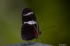 DSC_5677 ~ Fairchild Garden Doris Longwing (stephanie.ovdiyenko) Tags: fairchildtropicalgarden butterfly dorislongwing longwingbutterfly insect animal garden