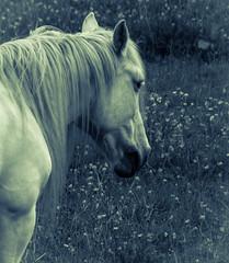 Old Soul (Katrina Wright) Tags: dsc1507 pensive contemplation horse equine mane whitehorse bw monochrome