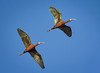 White-faced Ibis in flight - explore (alicecahill) Tags: california usa wild sierravalley ©alicecahill bird flying ibis wildlife sierracounty whitefacedibis animal droh dailyrayofhope