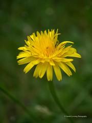 Clyne Gardens 2017 06 01 #35 (Gareth Lovering Photography 3,000,594 views.) Tags: clyne clyneinbloom botanical gardens flowers macro swansea olympus omdem10ii 30mm 30mmmacro garethloveringphotography