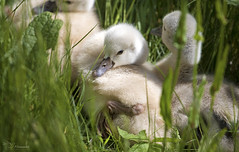 Cygnets (Paula Darwinkel) Tags: cygnets cute swans ducklings nature baby animals birds adorable spring summer wildlife