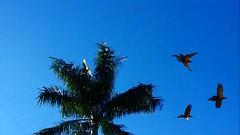 Araras voando // Flying macaws (Eco.Natu) Tags: araras macaw palmeira palm imperial verde green folhas céu azul sky blue voar voando pássaros bird